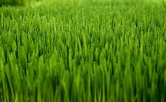zoysia grass lawn seed